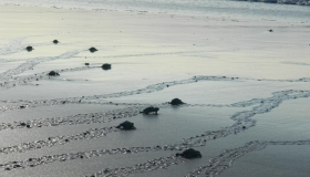 Volunteer at Montezuma Sea-turtle Conservation Program