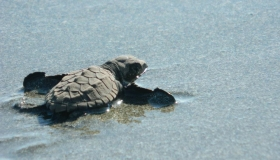 The turtle nesting season in pictures